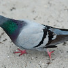pigeon on a beach sand