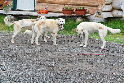 Iditarod Huskies - Sun Dog Kennels