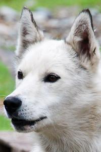 Iditarod Husky