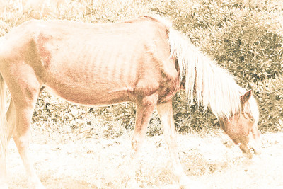 Old Nag; Assateague 2011