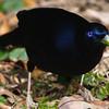 Satin Bowerbird (male)