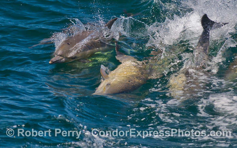 More Common Dolphin (<em>Delphinus capensis</em>) antics.