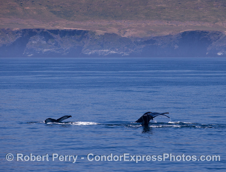 Humpback Whale (<em>Megaptera novaeangliae</em>) tails near Santa Cruz Island.