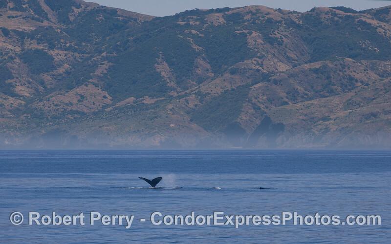Humpback Whales (<em>Megaptera novaeangliae</em>) - Santa Cruz Island.