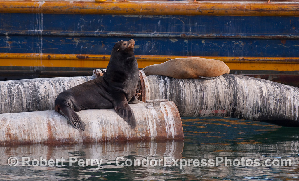 A young bull California Sea Lion (Zalophus californianus) with a female in the background.  Both animals are resting on pipe from the Santa Barbara Harbor dredge.