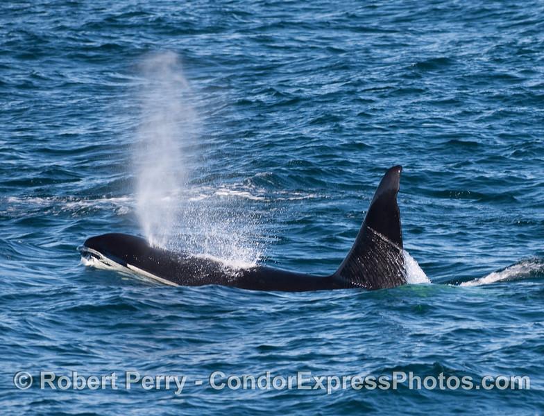 Orcinus orca male spout 2010 12-31 SB Channel - 256