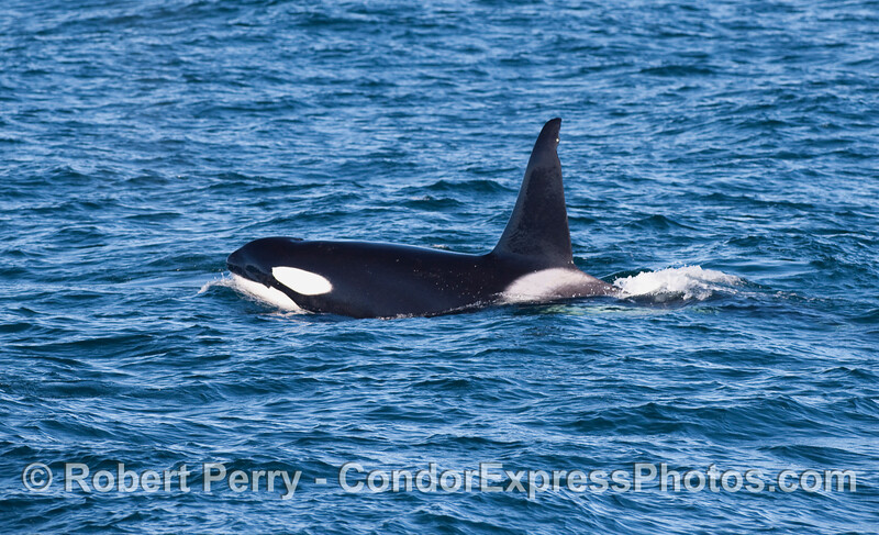 Orcinus orca male side GOOD 2010 12-31 SB Channel - 234