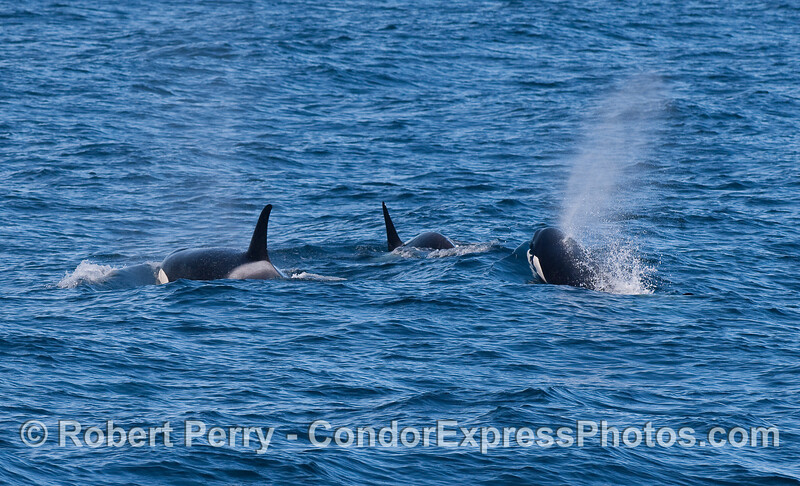 Orcinus orca THREE 2010 12-31 SB Channel - 057