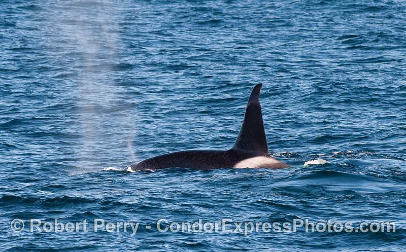 Orcinus orca male spouting 2010 12-31 SB Channel - 224