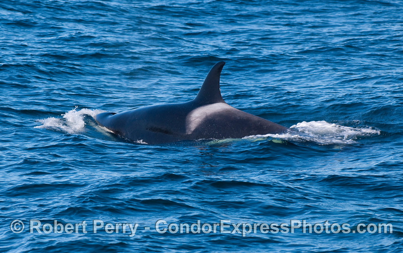 Orcinus orca 2010 12-31 SB Channel - 088
