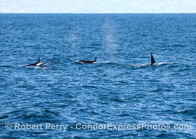 Orcinus orca three 2010 12-31 SB Channel - 215