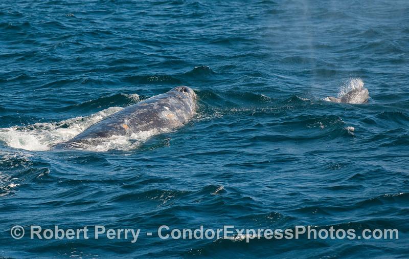 A Gray Whale and a companion Risso's Dolphin.