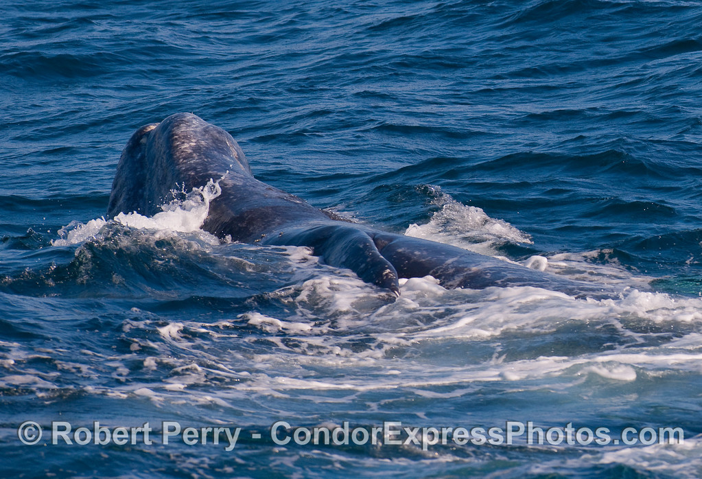Rolling and tumbling Gray Whale.