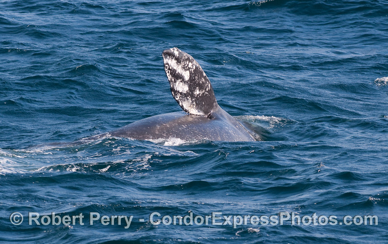 A waving Gray Whale...fingers in pectoral fin clearly visible.