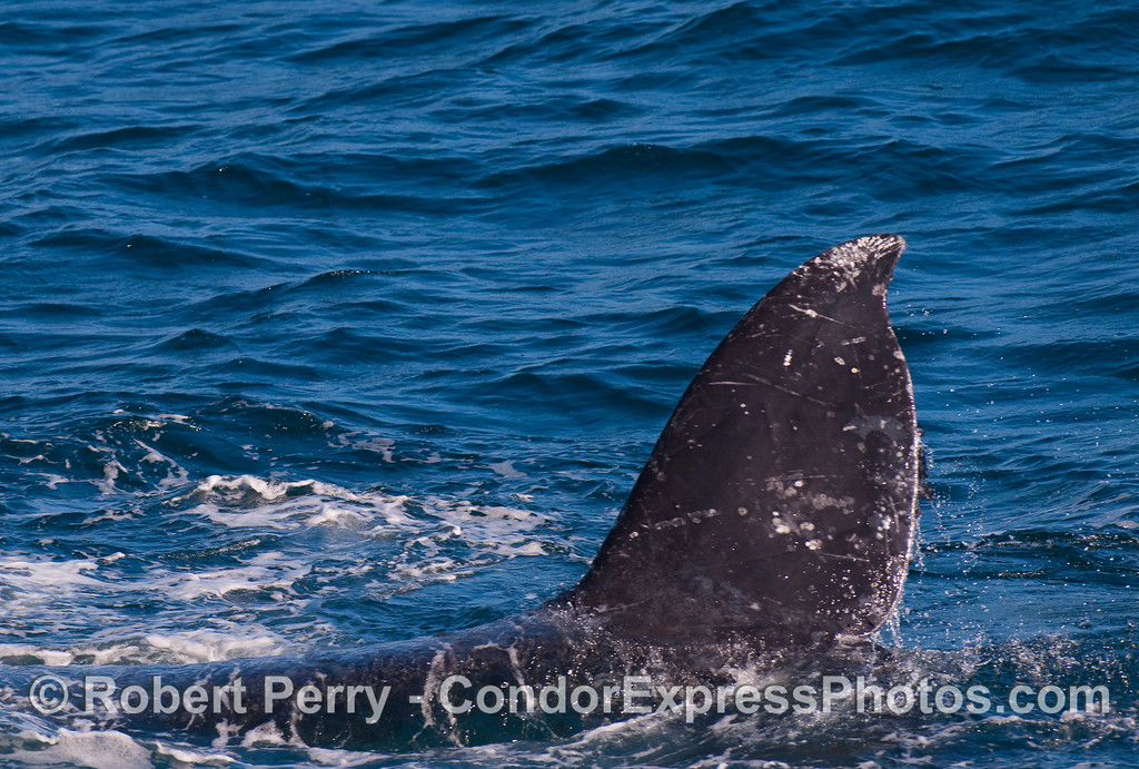 Close up encounter with the tail fluke of a rolling Gray Whale.