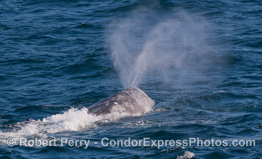 The twin blowholes of a Gray Whale send up a heart shaped spout.