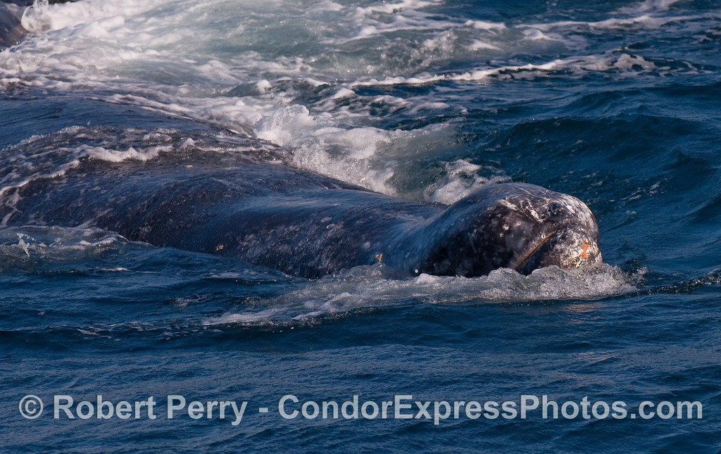 Upside down Gray Whale, heading towards the camera.