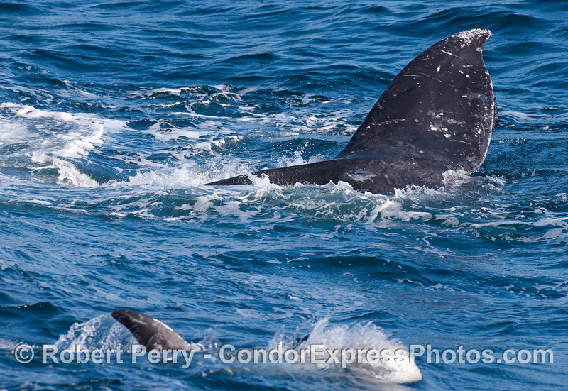 Gray Whale tail fluke and Risso's Dolphin in foreground.