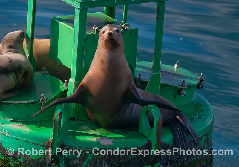 California Sea Lion, (Zalophus californianus).