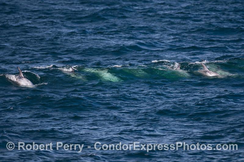 Risso's Dolphins (Grampus griseus) surf an open ocean wave.