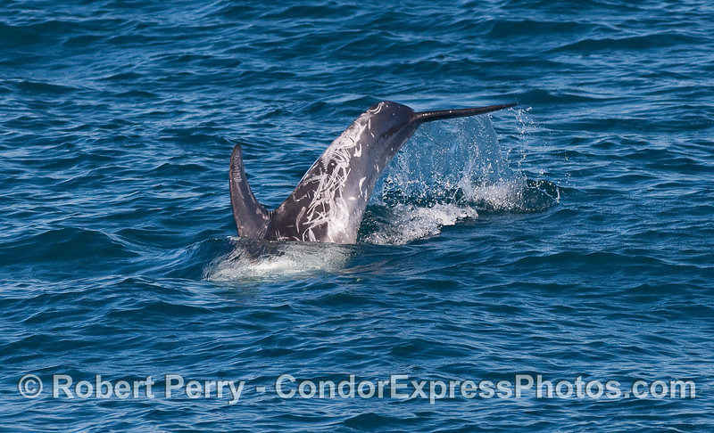 A Risso's Dolphin (Grampus griseus) kicks up its tail for a deeper dive.