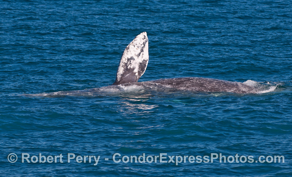 Sideways Gray Whale (Eschrichtius robustus) with pectoral fin in the air.