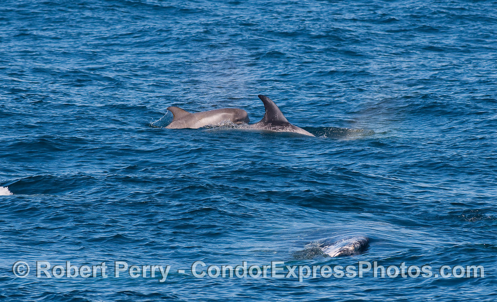 Risso's Dolphin (Grampus griseus) cow and her calf with a Gray Whale (Eschrichtius robustus) upside down, under water, nearby.
