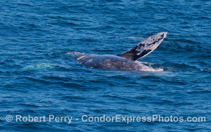 Arms akimbo, this Gray Whale (Eschrichtius robustus) is upside down, exposing its belly.