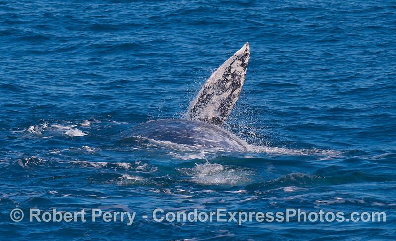 A Gray Whale (Eschrichtius robustus) rolls around.