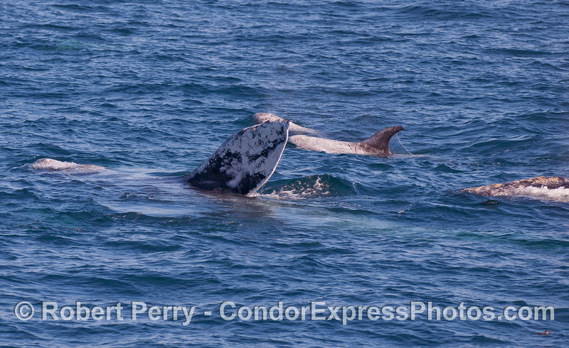 Two Gray Whales (Eschrichtius robustus) and two Risso's Dolphins (Grampus griseus).
