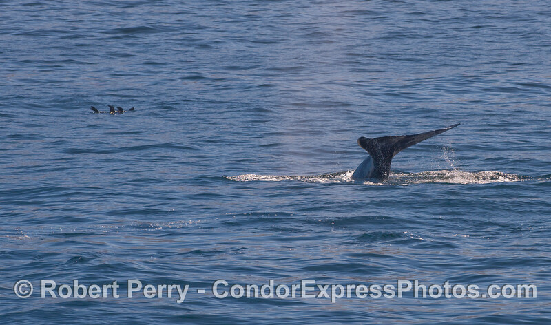 A Gray Whale (Eschrichtius robustus) shows its tail flukes near a few California Sea Lions (Zalophus californianus) rafting in the area.