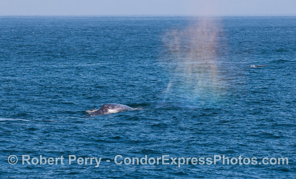 Rainbow spout spray from a Gray Whale (Eschrichtius robustus).