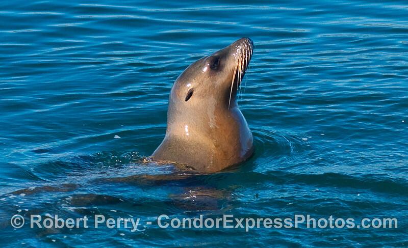 Portrait of a California Sea Lion (Zalophus californianus) on a sunny day.