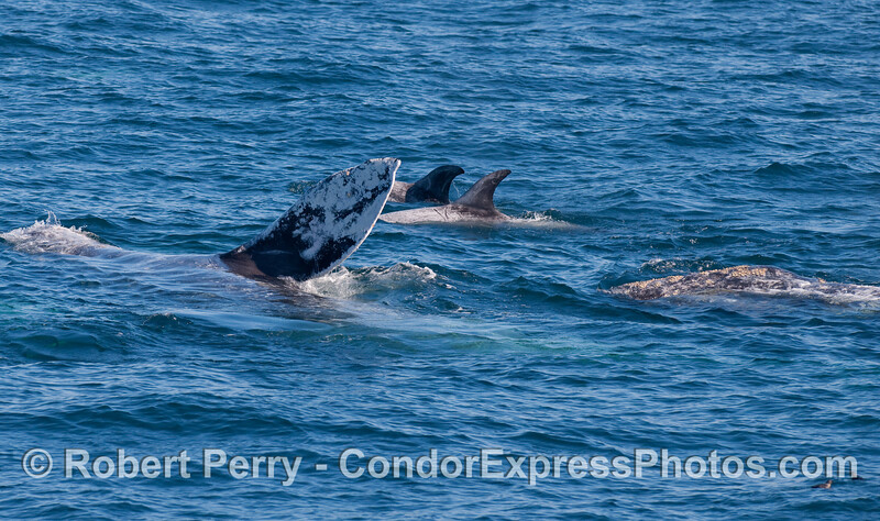 Two Gray Whales (Eschrichtius robustus)...on on its side showing a large pectoral fin...and two Risso's Dolphins (Grampus griseus), and in the lower right corner do I see two Rhinoceros Auklets (Cerorhinca monocerata)?
