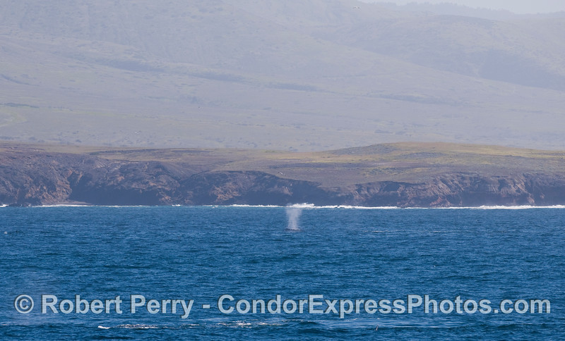 A Gray Whale (Eschrichtius robustus) spout up close to Santa Cruz Island.
