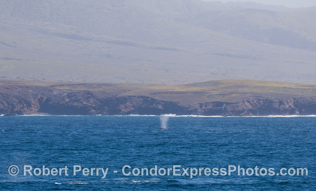A Gray Whale (Eschrichtius robustus) spout up close to Santa Cruz Island.