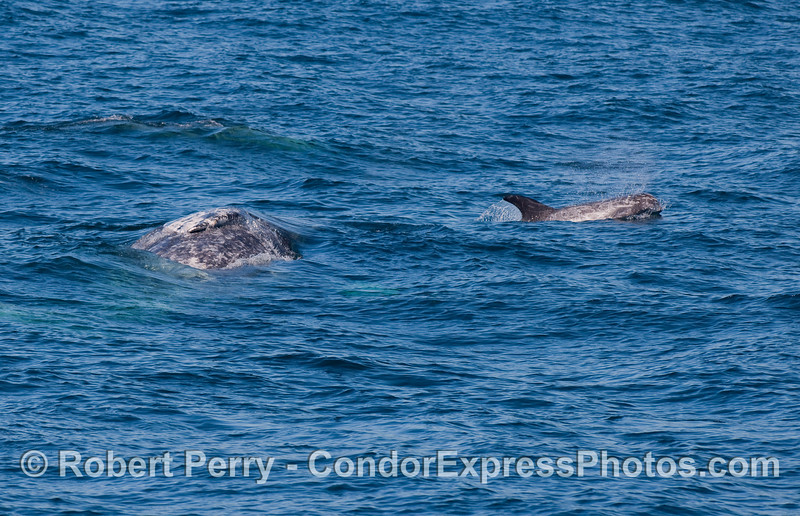 Gray Whale (Eschrichtius robustus) and Risso's Dolphin.