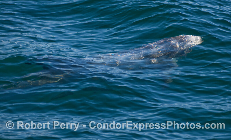 A Risso's Dolphin (Grampus griseus) swims under the water.