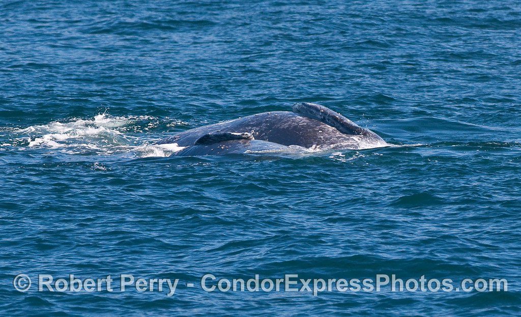 Two Gray Whales (Eschrichtius robustus) on their sides, side-by-side.