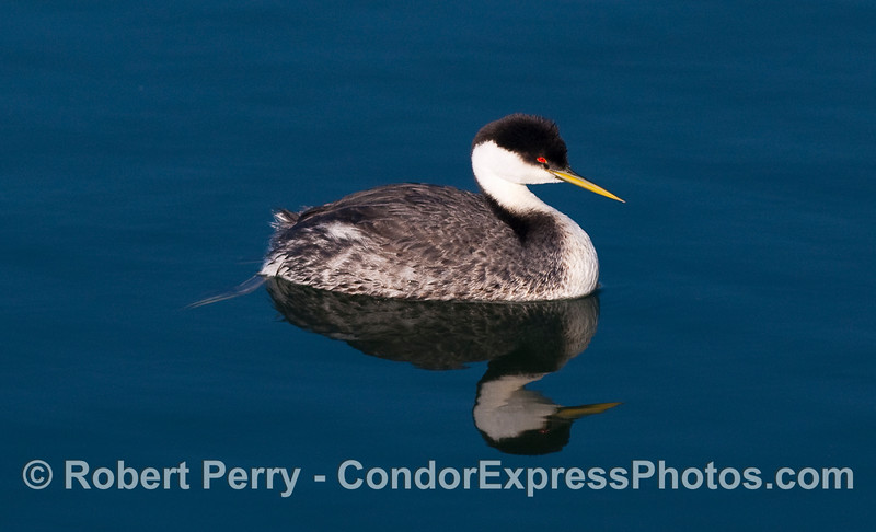 A western grebe (Aechmophorus occidentalis) right side.