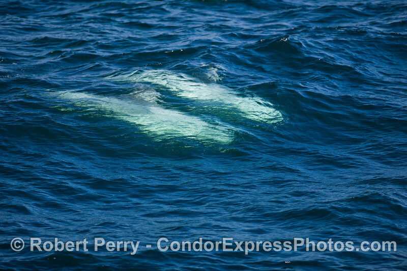 Two ghosts slide beneath the blue waves - Risso's Dolphins (Grampus griseus).