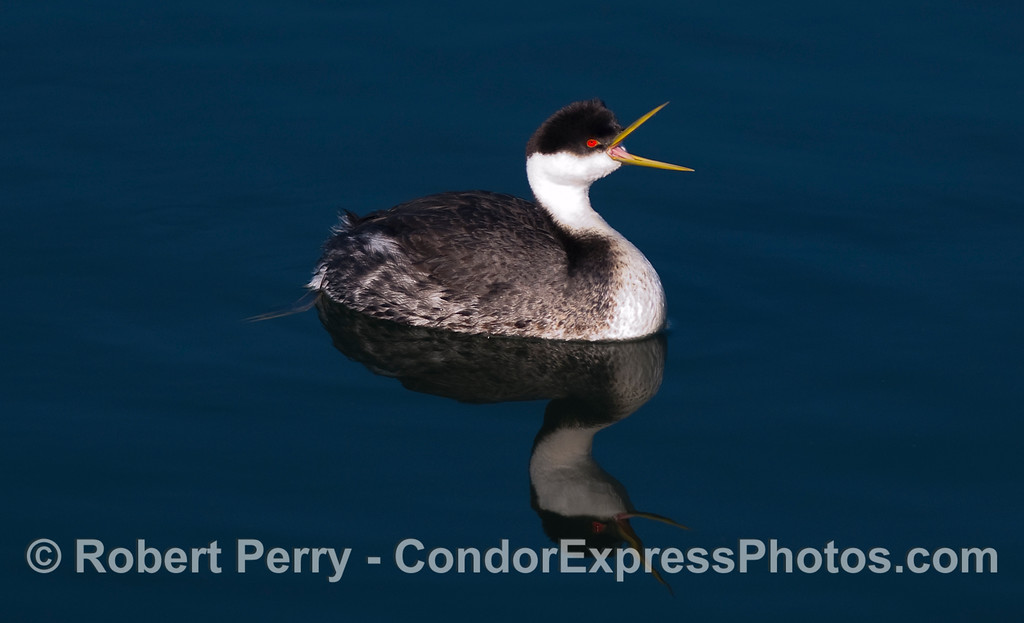 A western grebe (Aechmophorus occidentalis) is caught here with its mouth open.