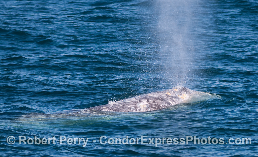 The twin blowholes of this Gray Whale (Eschrichtius robustus) can be seen in action.