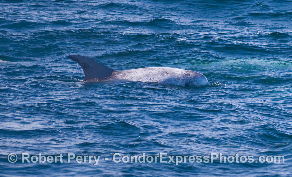 A Risso's Dolphin (Grampus griseus) keeps its eye on the camera.