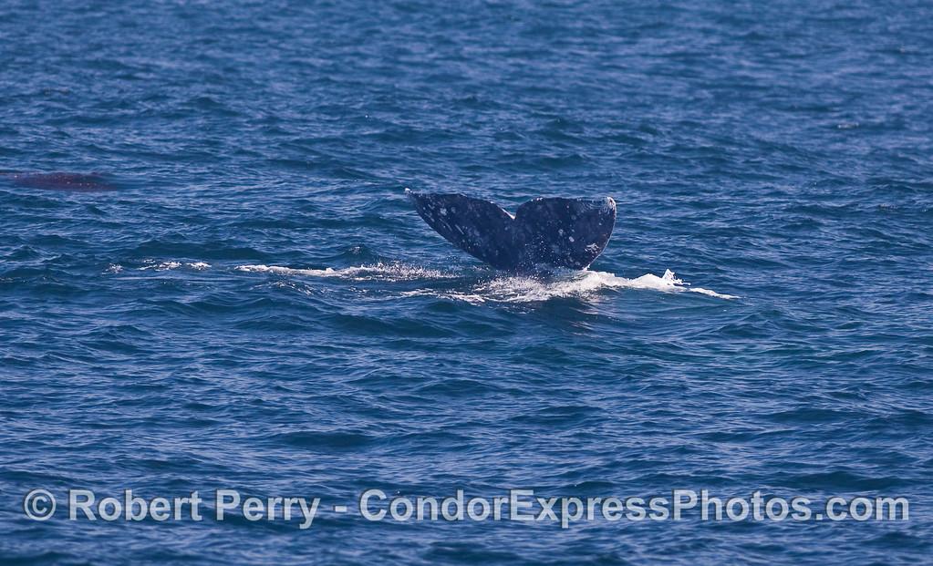 Gray Whale (Eschrichtius robustus) tail.