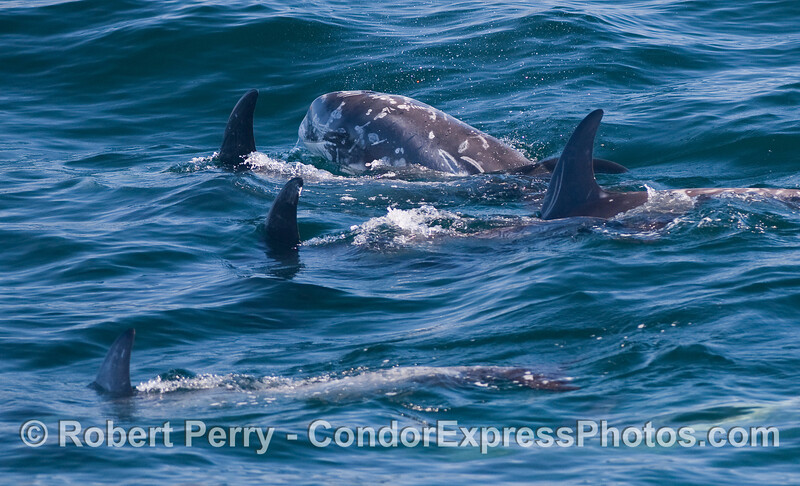 Five Risso's Dolphins (Grampus griseus), including one (in back) that has its head out of the water.