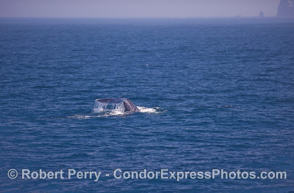 A Gray Whale (Eschrichtius robustus) kicks up its tail flukes for a deeper dive.