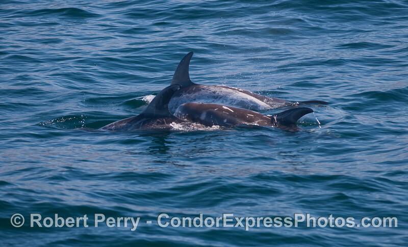 Four Risso's Dolphins (Grampus griseus).