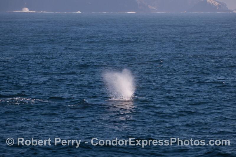 "A classic ""heart shaped"" blow from a Gray Whale (Eschrichtius robustus) off the Santa Cruz Island coast."