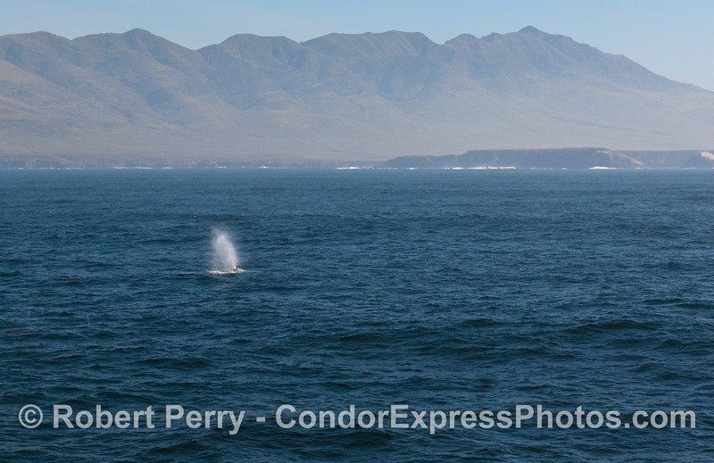 Frasier Point and the southwest shore of Santa Cruz Island is seen behind this spouting Gray Whale (Eschrichtius robustus) .